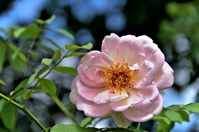 Growing and care of old roses - April/May/June